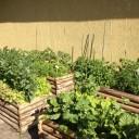 Hochbeete eines Schulgartenprojekts